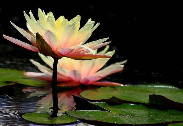 Allerton Garden Photograph - Water Lily by Virginia Folkman