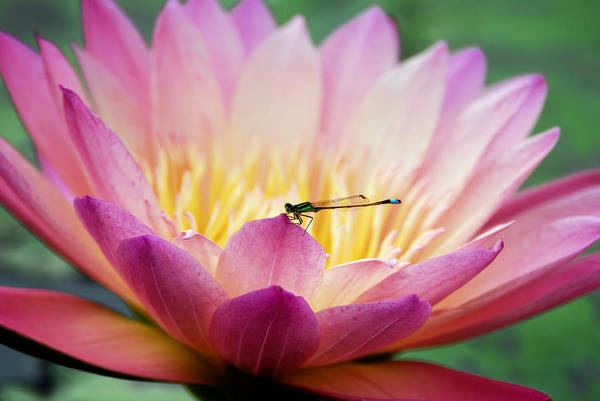 Photograph - Water Lily With Dragon Fly by Songquan Deng
