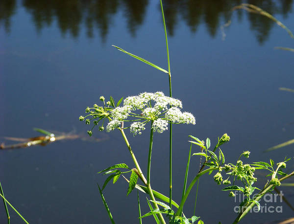 Photograph - Water Parsnip On Conboy Lake by Charles Robinson
