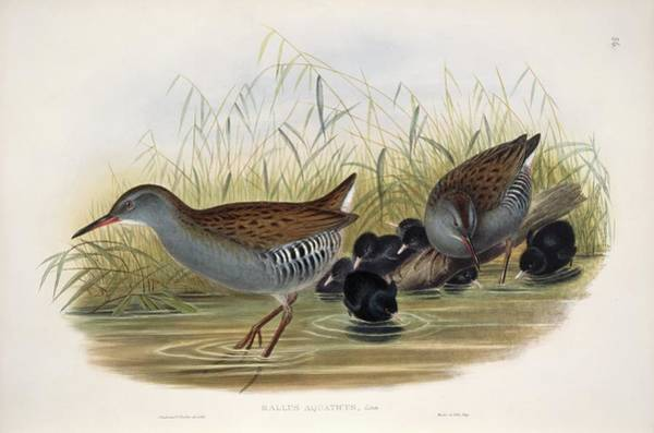 Greater London Photograph - Water Rail by Natural History Museum, London/science Photo Library