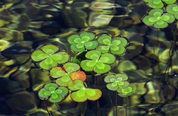 Four Leaf Clover Photograph - Water Shamrock (marsilea Quadrifolia) by Bob Gibbons/science Photo Library