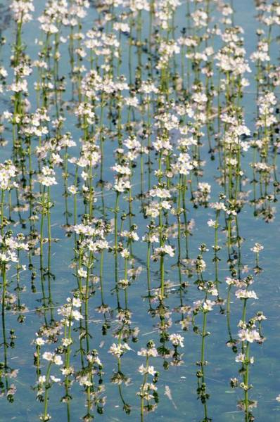 Wall Art - Photograph - Water Violets (hottonia Palustris) by Dr. John Brackenbury/science Photo Library