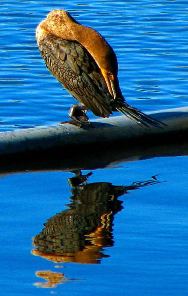 Photograph - Waterbird Reflections by Jp Grace