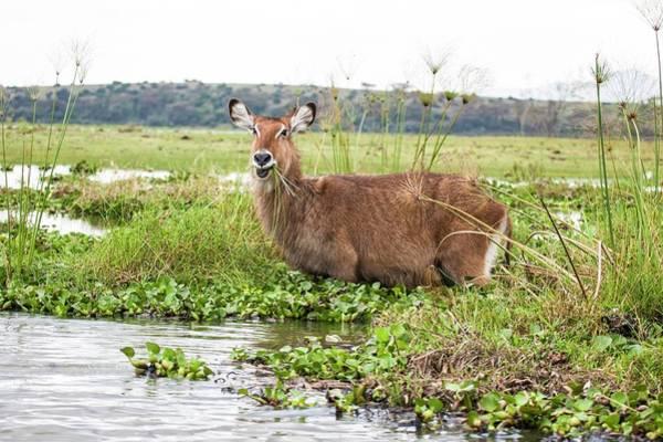 Conserved Photograph - Waterbuck (kobus Ellipsiprymnus) by Photostock-israel