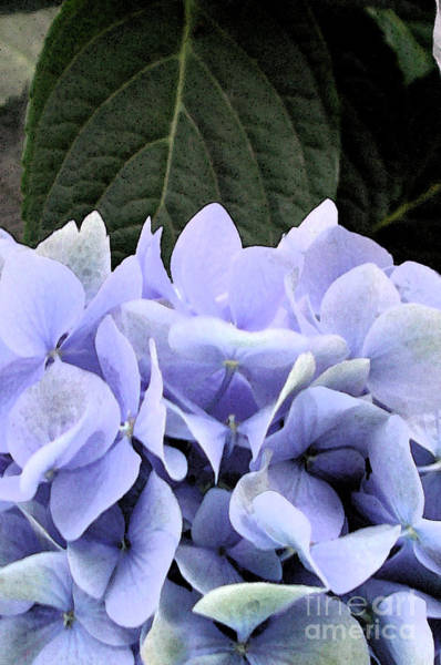 Photograph - Watercolor Hydrangea 2 by Kathi Shotwell