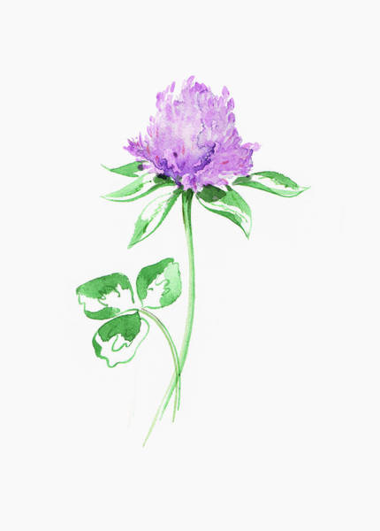 Wall Art - Painting - Watercolor Painting Of Purple Clover by Ikon Images