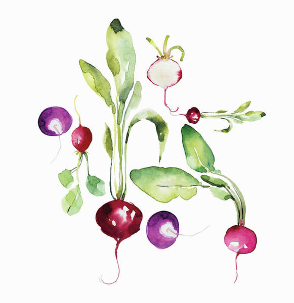 Wall Art - Painting - Watercolor Painting Of Radishes by Ikon Images