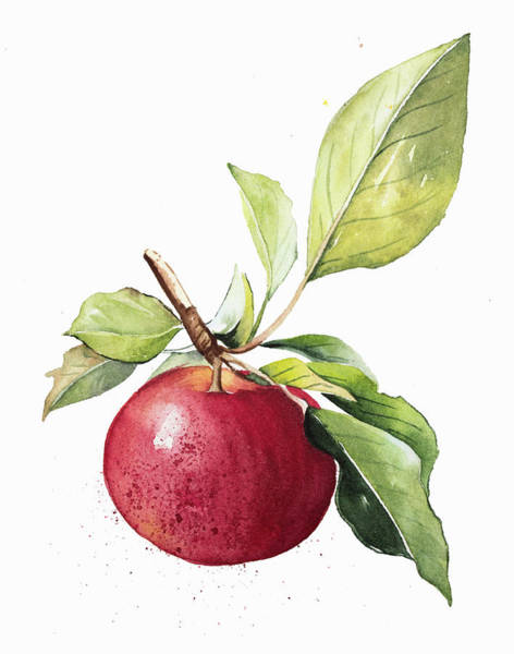 Wall Art - Painting - Watercolor Painting Of Ripe Apple by Ikon Images