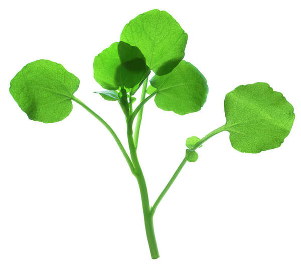 Nasturtium Photograph - Watercress by Gustoimages/science Photo Library