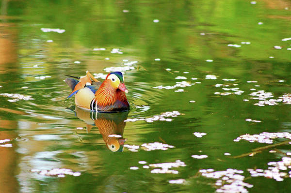 Mandarin Duck Photograph - Waterfowl by The Landscape Of Regional Cities In Japan.