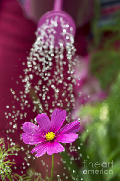 Drops Of Water Photograph - Watering The Cosmos by Tim Gainey