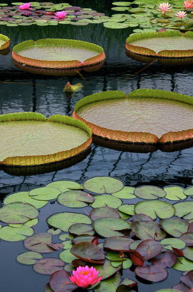 Photograph - Waterlilies And Platters 2 by Byron Varvarigos