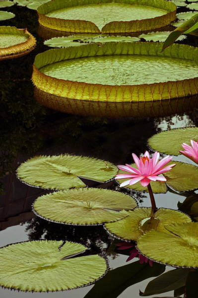 Photograph - Waterlilies And Platters Vertical Romance by Byron Varvarigos