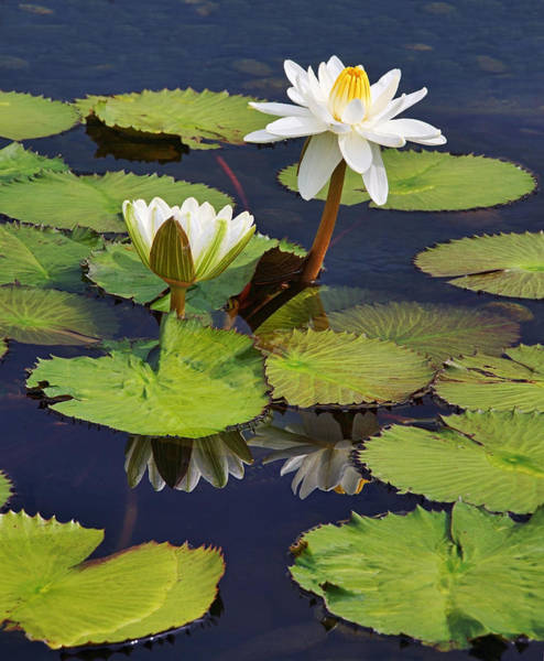 Photograph - Waterlilies At Como Zoo by Theo OConnor