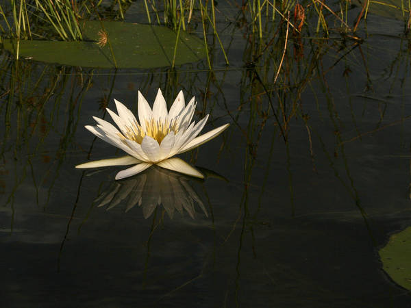 Photograph - Waterlilly 5 by Karen Zuk Rosenblatt