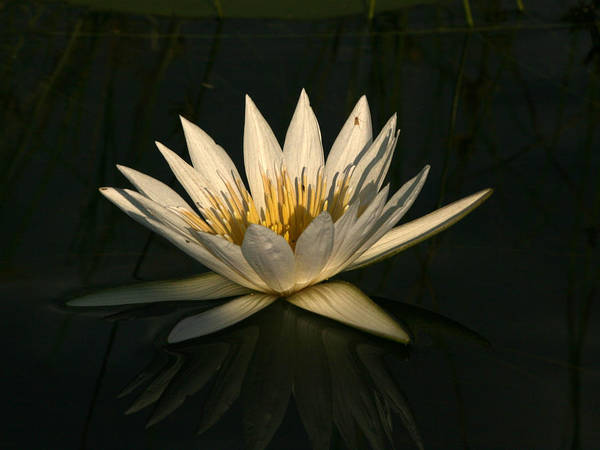 Photograph - Waterlilly 7 by Karen Zuk Rosenblatt