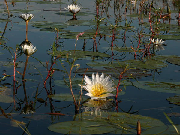 Photograph - Waterlilly 8 by Karen Zuk Rosenblatt