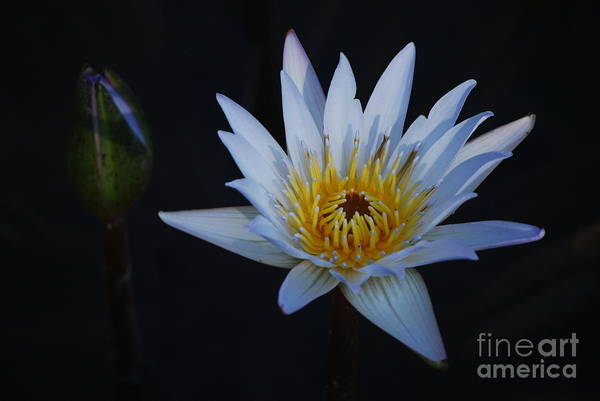 Nymphaea Lotus Photograph - Waterlily Dawn Number One by Heather Kirk