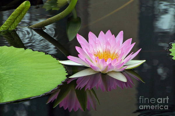 Photograph - Waterlily Echoes Echoes by Byron Varvarigos