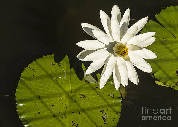 Photograph - Waterlily Through A Fence by Terry Rowe