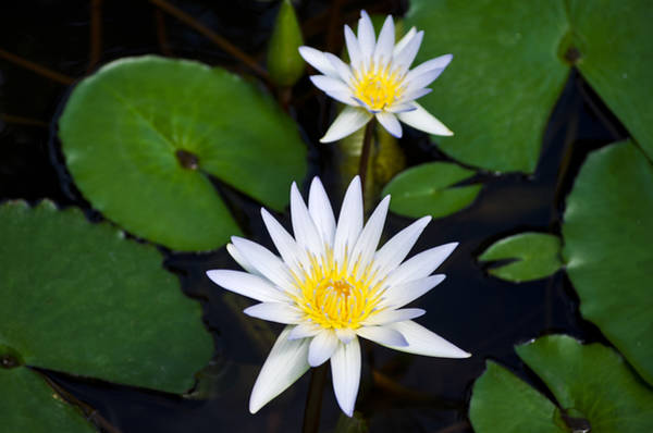 Photograph - Waterlily Two by Christi Kraft