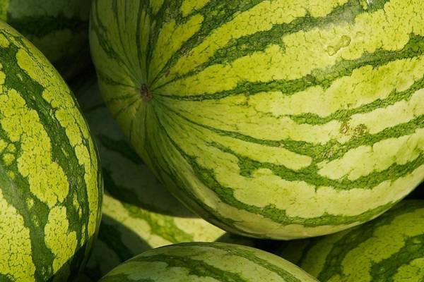 Photograph - Watermelons by Stuart Litoff