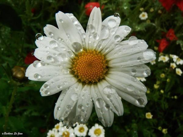 Photograph - Watery Daisy by Barbara St Jean