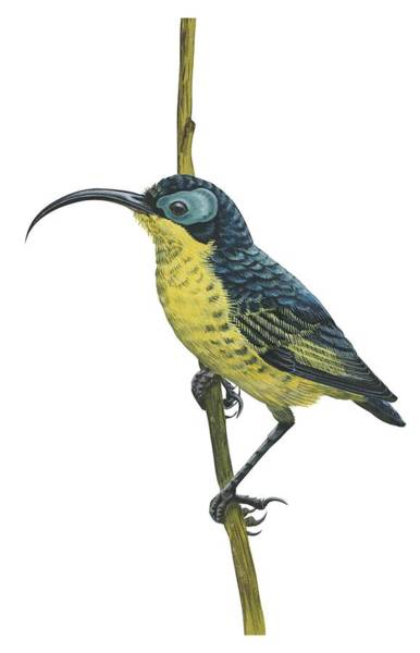 Full Length Drawing - Wattled False Sunbird by Anonymous