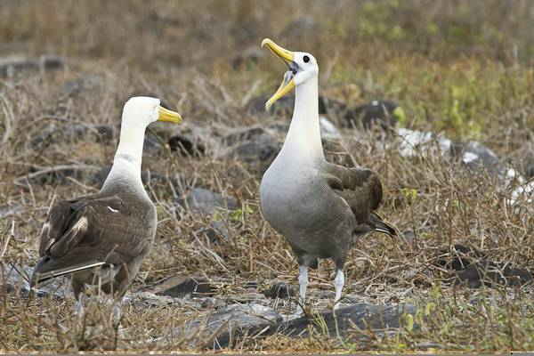 Waved Albatross Wall Art - Photograph - Waved Albatross Courtship Display by Science Photo Library