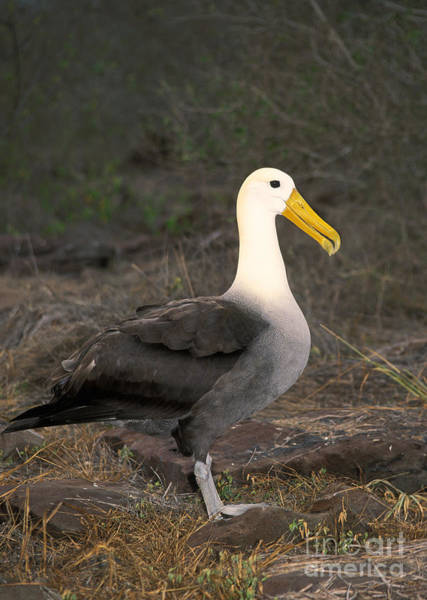 Waved Albatross Wall Art - Photograph - Waved Albatross Diomedea Irrorata by Ron Sanford