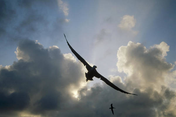 Waved Albatross Wall Art - Photograph - Waved Albatross Flying Over Nesting by Tui De Roy