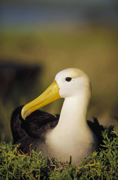 Waved Albatross Wall Art - Photograph - Waved Albatross Galapagos Islands by Tui De Roy