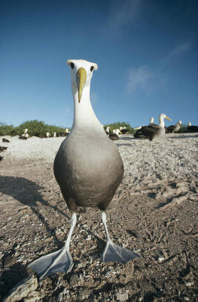 Waved Albatross Wall Art - Photograph - Waved Albatross Hood Island Galapagos by Tui De Roy