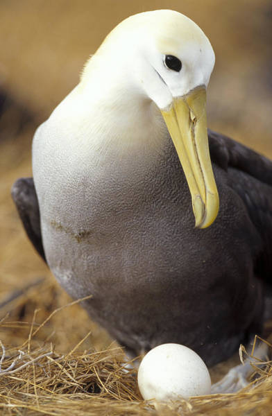Waved Albatross Wall Art - Photograph - Waved Albatross Incubating Egg by Tui De Roy