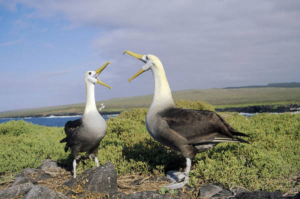 Waved Albatross Wall Art - Photograph - Waved Albatross Pair Courting Galapagos by Tui De Roy