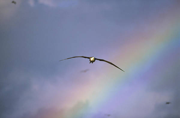 Waved Albatross Wall Art - Photograph - Waved Albatross Soaring Through Rainbow by Tui De Roy