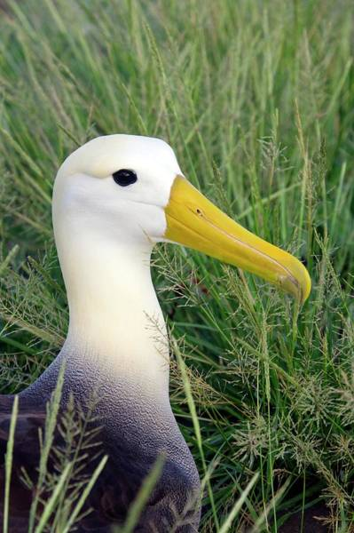 Waved Albatross Wall Art - Photograph - Waved Albatross by Steve Allen/science Photo Library