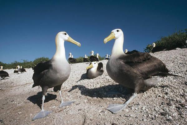 Waved Albatross Wall Art - Photograph - Waved Albatrossed On Nesting Grounds by Tui De Roy