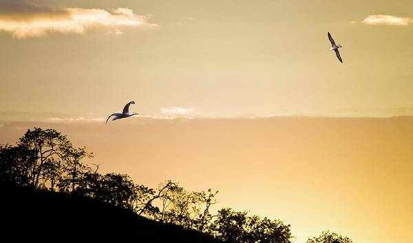 Waved Albatross Wall Art - Photograph - Waved Albatrosses Flying At Sunset by Steve Allen/science Photo Library