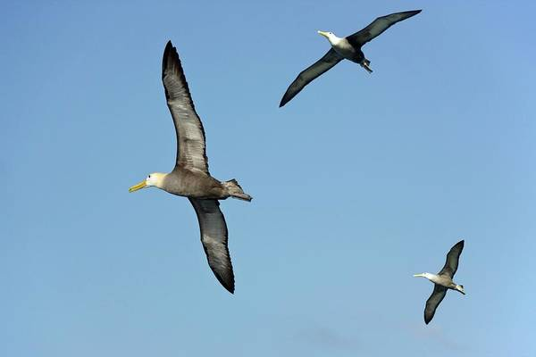 Waved Albatross Wall Art - Photograph - Waved Albatrosses In Flight by Steve Allen/science Photo Library
