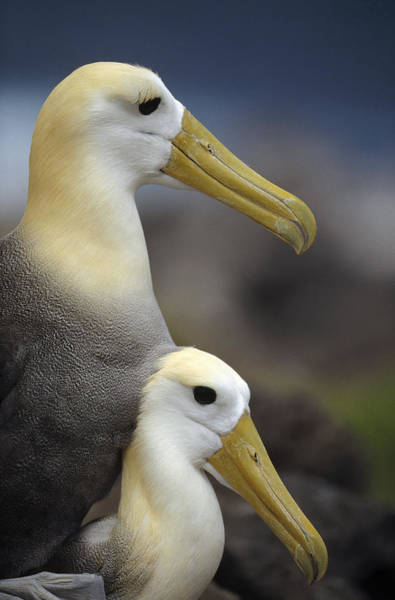 Waved Albatross Wall Art - Photograph - Waved Albatrosses Mating Galapagos by Tui De Roy