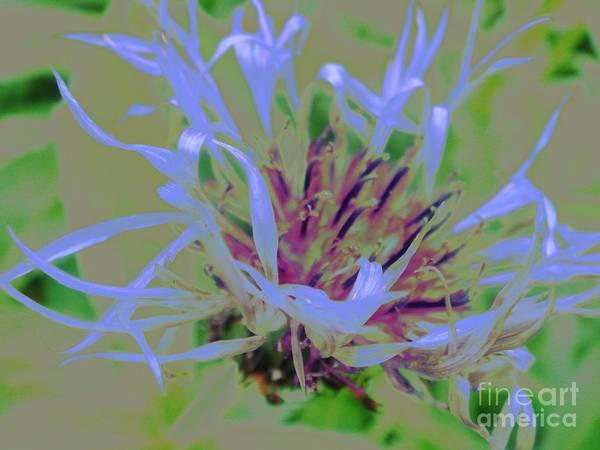 Centaurea Montana Wall Art - Mixed Media - Waving Blue by Dana Hermanova