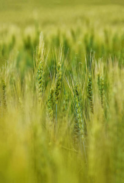 Photograph - Waving Wheat by Skip Hunt