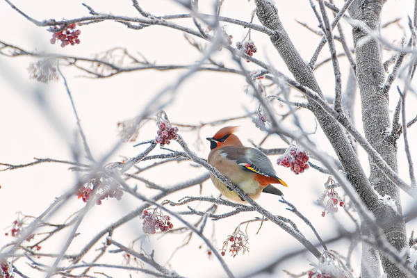 Frost Wall Art - Photograph - Waxwing by Konstantin Selezenev