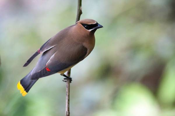 Photograph - Waxwing On A Wire by Mike Farslow