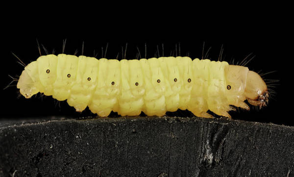 Bee Hive Photograph - Waxworm by Us Geological Survey/science Photo Library
