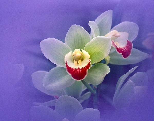 Waxy Photograph - Waxy White Orchids With Fuchsia Centers by Panoramic Images