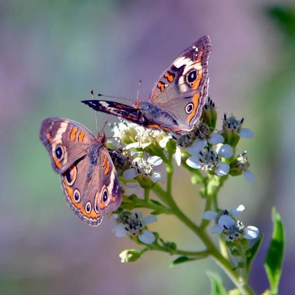 Buckeye Butterfly Wall Art - Photograph - We Make A Beautiful Pair by Deena Stoddard