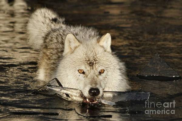 Arctic Wolves Photograph - Weapon For A Cold War  by Heather King