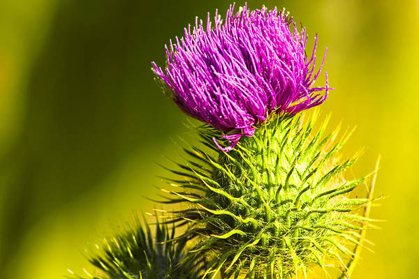 Photograph - Wearing A Purple Crown - Bull Thistle by Mark Tisdale